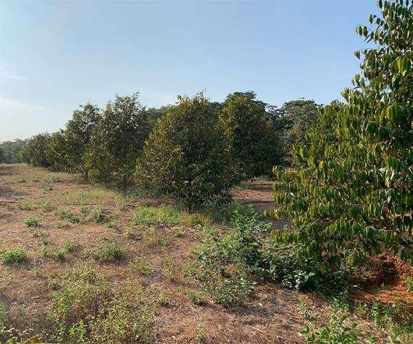 B082 - Bán vườn sầu riêng, bơ, bưởi 23358m3… 300m2 thổ cư giá 15.2 tỷ tại Xà Bang, Châu Đức, BRVT