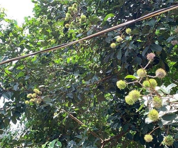 B111 - Bán vườn trái cây đủ loại 23911m2, mặt tiền 150m, có 100m2 thổ cư giá 20.3 tỷ tại Sông Xoài, Phú Mỹ, BRVT
