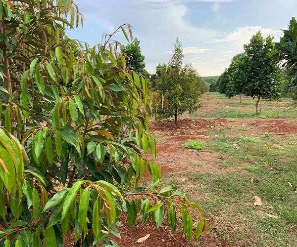 B120 - [ NGHĨ DƯỠNG] Bán vườn trái cây đủ loại 6051m2, mặt tiền đường bê tông, giá 4 tỷ, đất bằng phẳng trong khu trái cây đẹp thuộc Xà Bang Châu Đức - BRVT