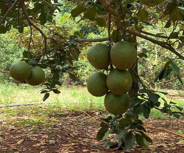 B138 - [GÓC ĐẦU TƯ ] Bán nhà vườn trái cây sầu riêng, bưởi…2,3ha, có hơn 200m mặt tiền, có suối bao quanh, 300m2 thổ cư đất phủ hồng toàn bộ giá 18.68 tỷ tại Xà Bang, Châu Đức - BRVT