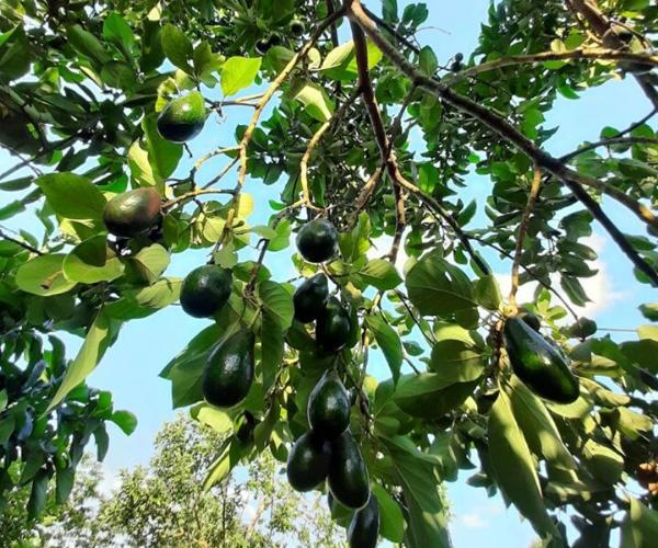 Bán 2,5ha vườn trái cây xum xuê, ngay đường lớn, có 300m thổ cư, có suối