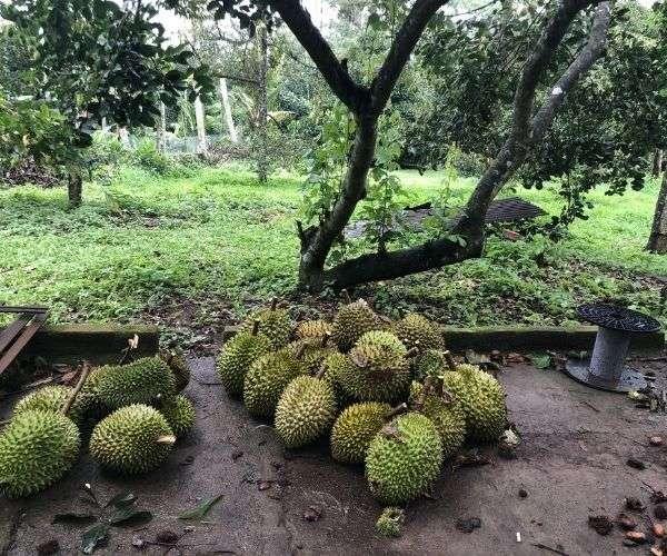 B068 - Bán nhà vườn đẹp, có 300m2 thổ cư, gần khu du lịch, vùng trái cây cổ thụ tuyệt đẹp tại Xà Bang, Châu Đức, BRVT