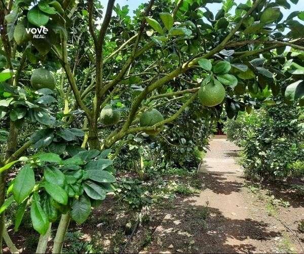 Bán vườn bưởi 5463m2 đang phát triển tươi tốt tại xã Láng Lớn, Châu Đức, BRVT
