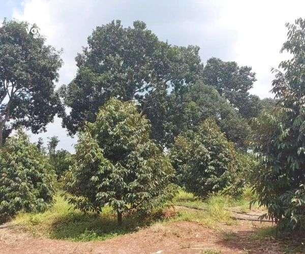 Bán vườn sầu riêng 8876m2 siêu đẹp tại vùng trái cây Bảo Bình, Cẩm Mỹ, Đồng Nai