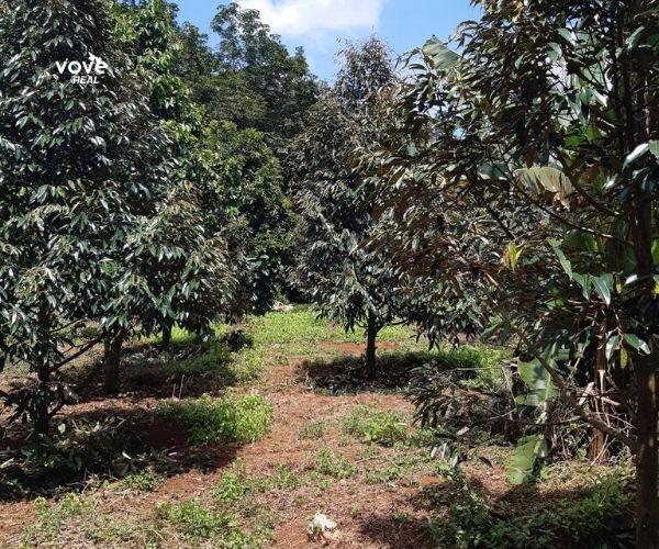 Bán vườn sầu riêng, mít, bơ đang thu hoạch, có thổ cư, nhà, chuồng trại tại Xà Bang, Châu Đức, BRVT
