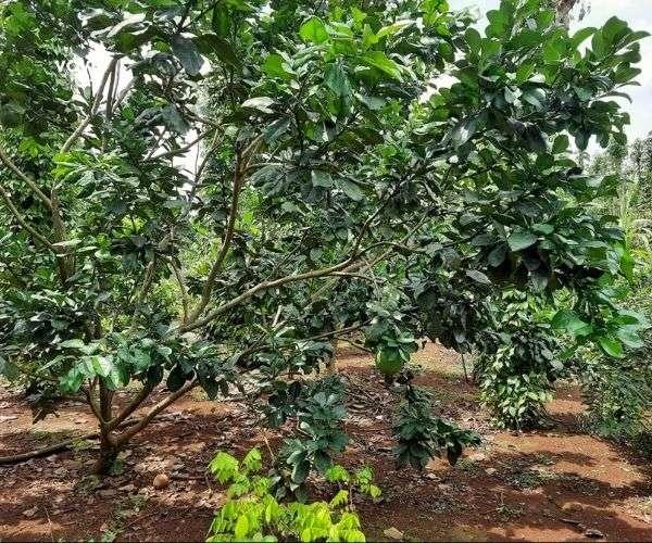 Bán vườn trái cây các loại 4540m2 dọc tuyến QL56 tại xã Xà Bang, Châu Đức, BRVT