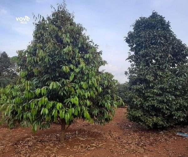 Bán vườn trái cây sầu riêng, bơ,.. S 10215m2, giá 6,5 tỷ tại Xà Bang, Châu Đức, BRVT