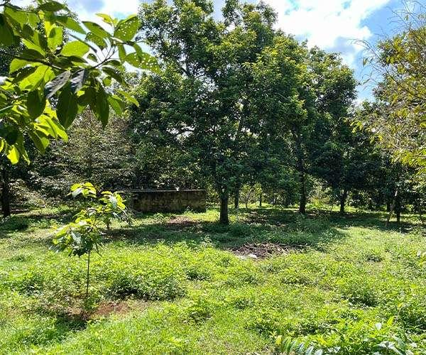 D041 - Bán vườn trái cây 8781m2 đang trồng full bơ 7 năm tuổi giá 10 tỷ tại Cẩm Mỹ, Đồng Nai