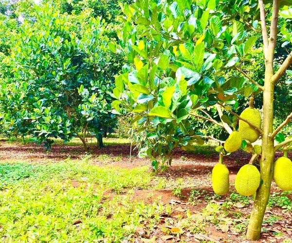 D047 -  [ NGHĨ DƯỠNG] Bán vườn trái cây đủ loại 5460m2 gần TP. Long Khánh, có 49m mặt tiền đường bê tông, ngay khu dân cư đông đúc giá 4.8 tỷ tại Xuân Bảo, Cẩm Mỹ, Đồng Nai