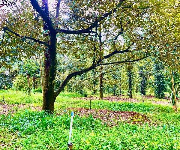 D051 - [NGHĨ DƯỠNG] Bán vườn sầu riêng 9743m2 có mặt tiền rộng 78m cạnh suối lớn, cách QL56 chỉ 100m, ngay khu dân cư đông đúc giá 10 tỷ  tại thị trấn Long Giao, Cẩm Mỹ, Đồng Nai