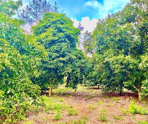 D063 - [ NGHĨ DƯỠNG ] Bán vườn trái cây cổ thụ 2 mặt tiền 6669m2 giá rẻ nhất khu vực, cách Ql56 chỉ 1.5km, cách UBND huyện Cẩm Mỹ 3.5km giá 5 tỷ tại vùng đất đặc thù trái cây thuộc  thị trấn Long Giao, Cẩm Mỹ, Đồng Nai