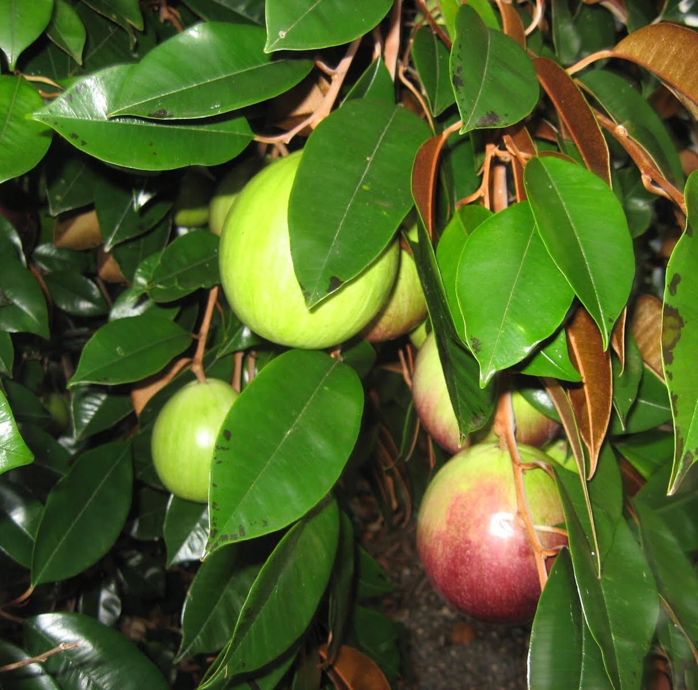 Những lưu ý trong trồng và chăm sóc cây vú sữa
