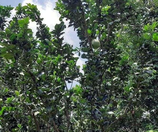 Siêu phẩm 9600m2 vườn trái cây đặc sản cổ thụ giá 23 tỷ, 96 m mặt tiền QL56, Châu Đức, BRVT